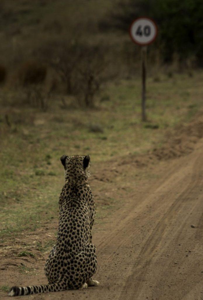 photo insolite 2016 cheetah